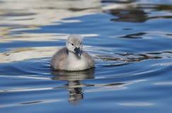 Olor Cygnus молодого лебедя безмолвного лебедя стоковые изображения