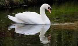 Olor da cisne muda ou do Cygnus imagem de stock royalty free