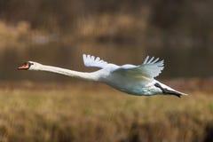 Olor del cygnus del cisne mudo durante vuelo con la correa de lámina imágenes de archivo libres de regalías