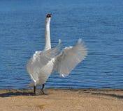 Olor do Cygnus da cisne muda contra o lago azul fotografia de stock