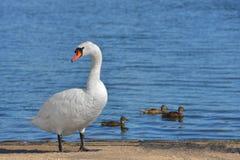 Olor do Cygnus da cisne muda contra um fundo dos patos no lago azul fotos de stock