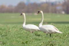Olor do cygnus de um par cisnes mudas em um campo Fotos de Stock Royalty Free