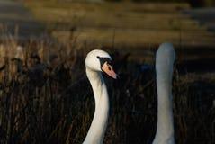 Olor do Cygnus ou cisne muda foto de stock