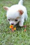 Olor lindo del perrito de la chihuahua la flor fotos de archivo libres de regalías
