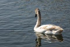 Olor novo do cygnus da cisne Cisnes postas em perigo raras no iin Goryachiy Klyuch do lago imagem de stock