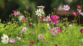 Сolorful Chamomile Flowers on a Sunny Day stock video footage