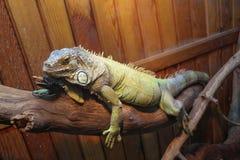 Olorful kameleon na gałęziastym zbliżeniu Zdjęcia Stock