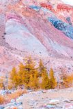 Olorful red rocks with yellow trees. Colorful red rocks with yellow trees. Autumn in the Altai mountains stock image