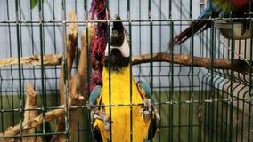 Olorful stående för Ð-¡ av amazon röda arapapegojor lager videofilmer