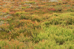 Olorful Suaeda, Common Glasswort, Salt meadow, Salt tolerant pla. The area full of colorful Suaeda (Austral Seablite) , Common Glasswort, Salt meadow, Salt Stock Image