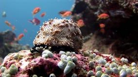 Oloturia subacquea su fondo di fondale marino stupefacente in Maldive video d archivio