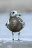 Olrogs gull. Atlanticus in the beach Stock Photo