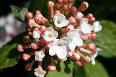Olvon Busch mit Blumen Stockfotos