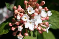 Olvon buske med blommor Arkivfoton