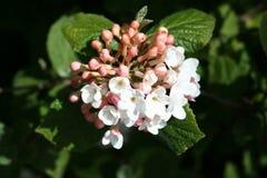 Olvon cespuglio con i fiori Fotografie Stock
