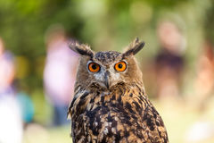 Olw. At a bird show i saw these beutiful olw looking at me Stock Photography