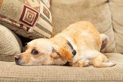 Olycklig Chihuahuahund som lägger på soffan Royaltyfri Fotografi