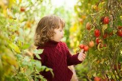 Olycklig liten trädgårdsmästare, tomatsjukdom Phytophthora Infestans Mogna röda tomater får sjuka vid sent fördärv Fotografering för Bildbyråer