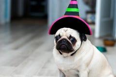 Olycklig mops SAD födelsedag Hund i en hatt Allhelgonaaftonhund Halloween deltagare karnevaldräkt venice arkivbilder