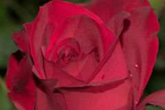 Olympiad Red Rose Flower Stock Image