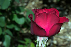 Olympiad Red Rose Flower Profile Stock Photo