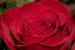 Olympiad Red Rose Stock Photo