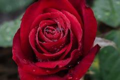 Olympiade Rode Rose Petal Swirl Royalty-vrije Stock Afbeeldingen