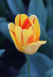 Olympic Flame Tulip Royalty Free Stock Photo