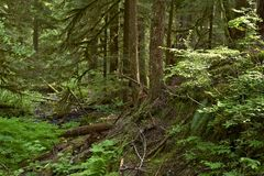 Olympic Forest Trail Royalty Free Stock Photography
