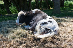 Olympic Game Farm in Sequim, WA. Yak resting on pile of straw at Olympic Game Farm Stock Photo