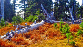 In Olympic National Park. Dry trees in the Olympic National Park Stock Photo
