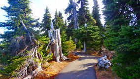 In Olympic National Park. Dry trees and stumps in Olympic National Park Stock Image