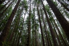 Trees seen from below in Olympic National Park forest stock image