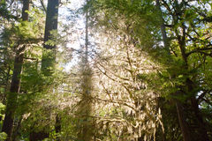 Olympic Peninsula. Trees near Lake Crescent in the Olympic Peninsula, WA state Royalty Free Stock Photo