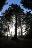 Olympic Peninsula Trees stock photography