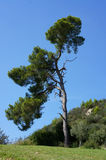 Olympic pine Royalty Free Stock Photo