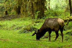 Olympic rainforest Royalty Free Stock Image