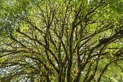 Olympic Rainforest Tree. A sunlit bigleaf maple tree covered with epiphytic moss near Lake Crescent in Olympic National Park, Washington Royalty Free Stock Photo