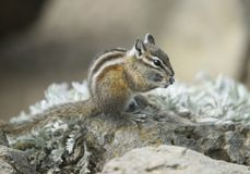 Chipmunk on Hurricane Hill, Olympic National Park, Washington royalty free stock photography