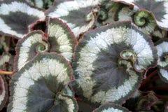 ´Olympica´ de la begonia Fotografía de archivo