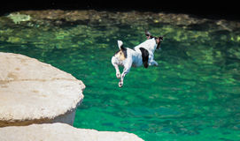Olympische duikerhond Royalty-vrije Stock Fotografie