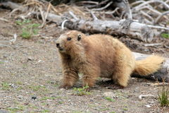 Olympische Marmot Stock Afbeelding