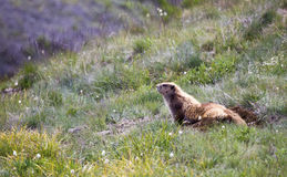 Olympische Marmot (Marmota-olympus) Stock Foto
