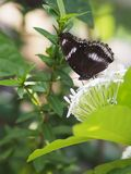 Black butterfly on the white flower blur nature background environment garden insect animal. Closeup Black butterfly on the white flower blur nature background royalty free stock photography