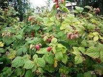 Raspberry Bush with unripe berries royalty free stock images