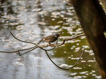 White cheeked starling perched above a pond 1 royalty free stock photo