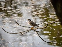 White cheeked starling perched above a pond 2 stock photo