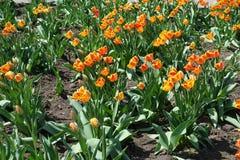 Om alldeles r?tt och gula blommor av tulpan arkivbilder