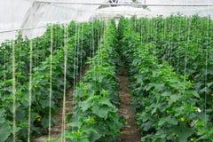 Om komkommers in de serre schone vriend ecologisch te kweken Stock Foto