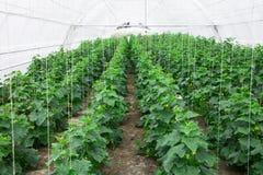 Om komkommers in de serre schone vriend ecologisch te kweken Royalty-vrije Stock Afbeeldingen